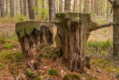 Zeer oude rotte vernietigde houten stompen Rot de aardbos van het stompenmos stock foto