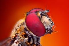 Zeer scherpe en gedetailleerde die studie van Hoverfly-hoofd van vele beelden in één zeer scherpe foto wordt gestapeld stock fotografie