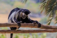 Zeer vermoeide aap die tijdens de hitte van de dag rusten stock foto's