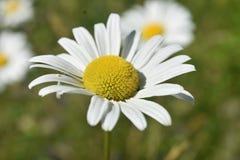 Zeer vrij Bloeiend Gazon Daisy in Bloei royalty-vrije stock afbeeldingen
