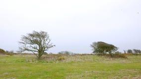 Zeer windblown bomen royalty-vrije stock foto's