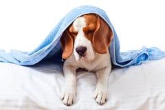 Zeer zieke hond op witte achtergrond Royalty-vrije Stock Afbeeldingen