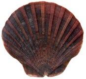 Zeeschelp stock afbeelding
