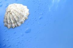 Zeeschelp Stock Afbeeldingen