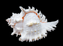 Zeeschelp murex ramosus Royalty-vrije Stock Foto's