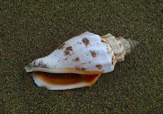Zeeschelp op het zand Stock Foto