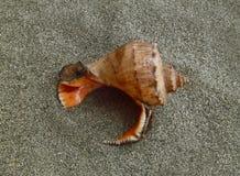 Zeeschelp op het zand Royalty-vrije Stock Afbeelding