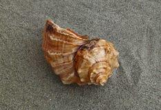 Zeeschelp op het zand Stock Afbeeldingen