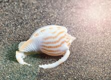 Zeeschelp op strand met zonlichtglans Royalty-vrije Stock Afbeeldingen