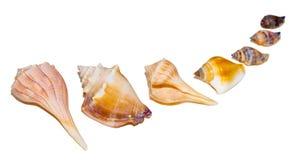 Zeeschelpen stock afbeelding