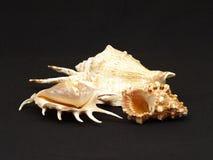 Zeeschelpen. Royalty-vrije Stock Foto