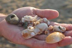 Zeeschelpen die op hand worden gehouden stock fotografie