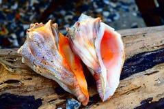 Zeeschelpen door de Oceaan stock foto's