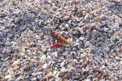 Zeeschelpen en Spaanse peperpeper Stock Afbeelding