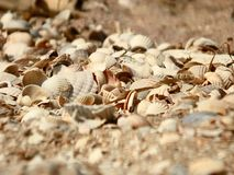 Zeeschelpen op de kust Drie overladen zeeschelpen op een zandig strand, met seafoamwas over hen stock afbeelding