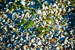 Zeeschelpen op een zandig strand in detail stock foto's