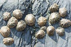 Zeeschelpen op rotsen Stock Afbeeldingen