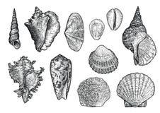 Zeeschelpinzameling, gravure, illustratie, tekeningsinzameling royalty-vrije stock fotografie