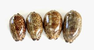 4 zeeschelpporceleinslakken Stock Foto's
