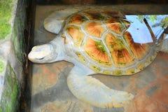Zeeschildpad bij Kosgoda-het Project van het Zeeschildpadbehoud Royalty-vrije Stock Afbeeldingen