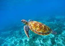 Zeeschildpad in blauwe oceaanclose-up Groene zeeschildpadclose-up Bedreigde species van tropisch koraalrif stock foto