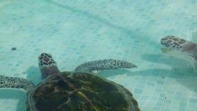 Zeeschildpad in de pool in Mexico stock videobeelden