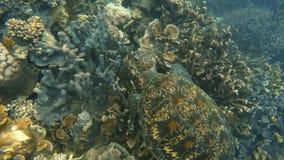 Zeeschildpad die boven koraalrif zwemmen stock videobeelden