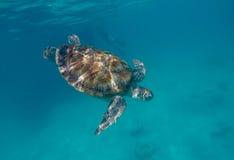 Zeeschildpad die in de oceaan zwemmen Stock Foto's