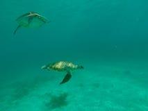 Zeeschildpad die in de oceaan zwemmen Stock Foto