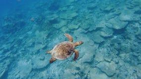 Zeeschildpad die over dode lijstkoralen zwemmen stock videobeelden