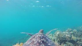 Zeeschildpad in het tropische overzees stock footage