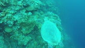 Zeeschildpad in het tropische overzees stock video