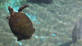Zeeschildpad met vissen stock footage