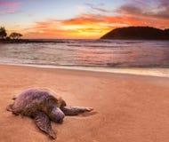 Zeeschildpad in Moloa ` een Strand, Kauai, Hawaï Royalty-vrije Stock Afbeelding