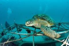 Zeeschildpad op koraalrif onderwater Stock Afbeeldingen
