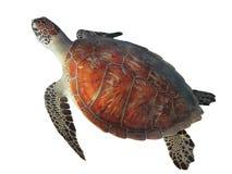 Zeeschildpad op witte achtergrond wordt geïsoleerd die Royalty-vrije Stock Foto