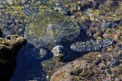 Zeeschildpad in rotspool met hoofd die uit water verschijnen stock foto's