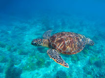 Zeeschildpad in water Zwemmende zeeschildpad in blauw water Overzeese schildpad snorkelende foto stock fotografie