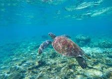 Zeeschildpad in water Zwemmende zeeschildpad in blauw water Overzeese schildpad snorkelende foto royalty-vrije stock foto's