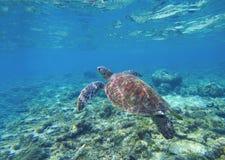 Zeeschildpad in water Zwemmende zeeschildpad in blauw water Overzeese schildpad snorkelende foto stock afbeeldingen