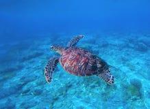 Zeeschildpad in water Zwemmende zeeschildpad in blauw water Overzeese schildpad snorkelende foto stock foto