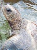 Zeeschildpadden Royalty-vrije Stock Foto