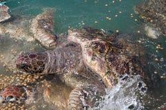 Zeeschildpadden Stock Afbeelding