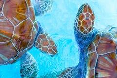 Zeeschildpadden die van het water in de reserve kijken stock foto's