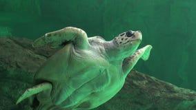 Zeeschildpadden en Andere Marine Life stock footage
