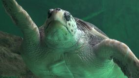 Zeeschildpadden en Marine Life stock video