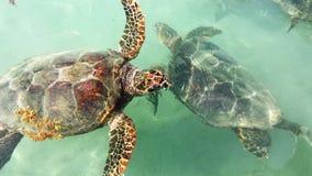 Zeeschildpadpaar Stock Foto