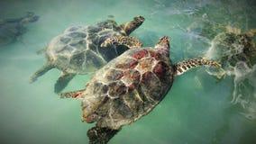 Zeeschildpadpaar Stock Fotografie