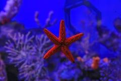 Zeester aan het glas tegen het koraal wordt geplakt dat stock foto's