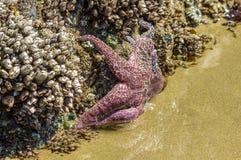 Zeester die zich aan rotsen op het strand vastklampen royalty-vrije stock foto